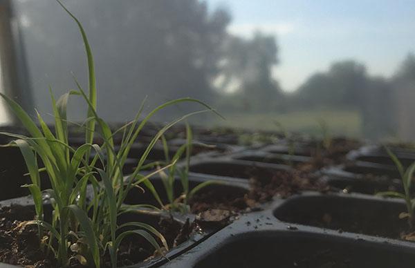 Lemongrass starts